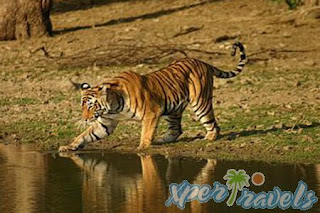 Tiger Tour India