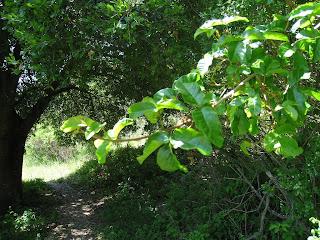 Poison Oak - Sibley Tilden trail