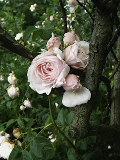 June Is Rose Month At The Brooklyn Botanic Garden   Free Entrance On  Saturday Mornings And All Day Tuesday