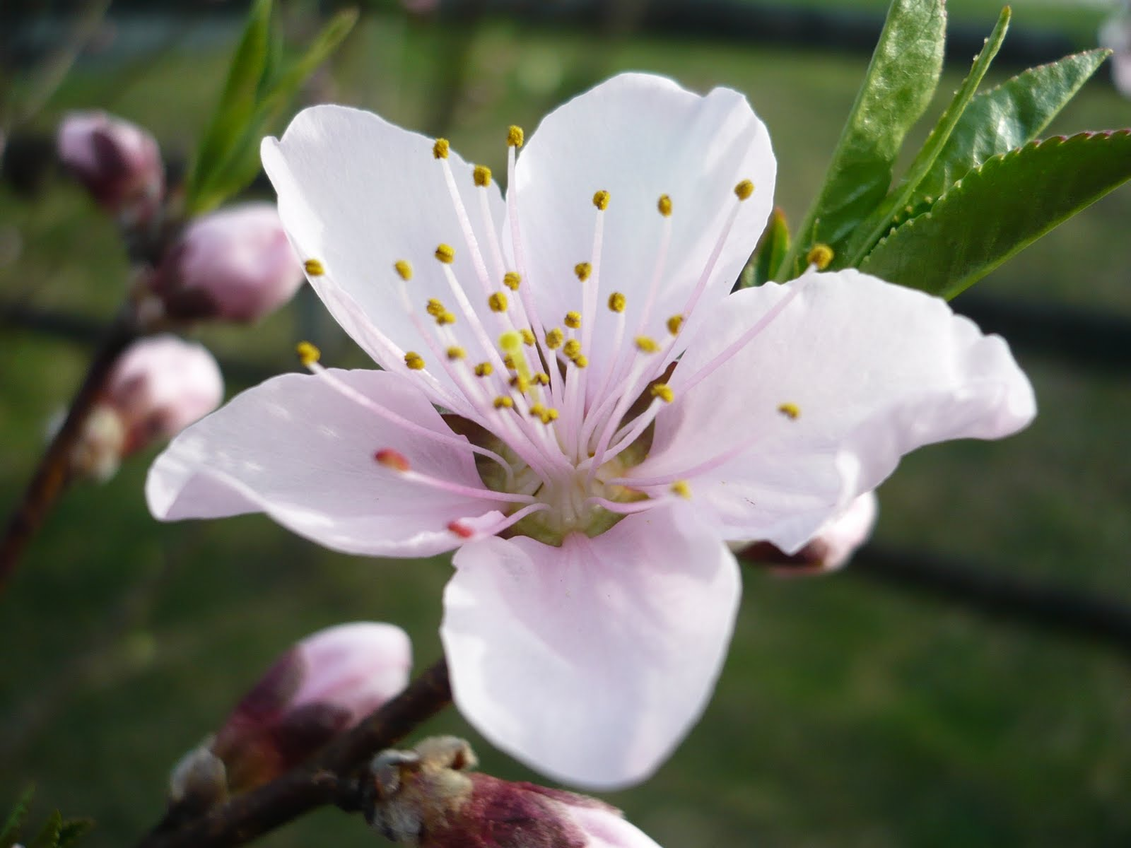 TrucVy-Zoe's Zone: Peach Tree Peach Tree Flowers