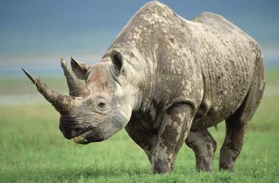 Rhinoceros+%28Diceros+bicornis%29 14 Spesies Mamalia Paling Langka & Unik yang Nyaris Punah
