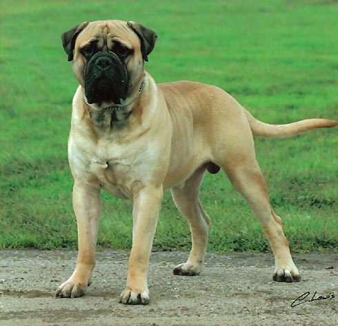 Shepherd Bullmastiff Mix