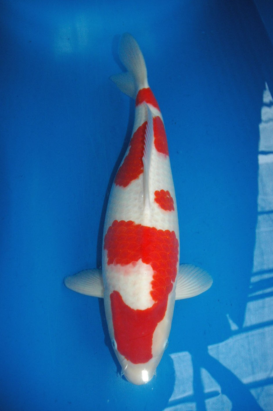 Best koi high grade koi from oishi koi farm for sale for Kohaku koi for sale