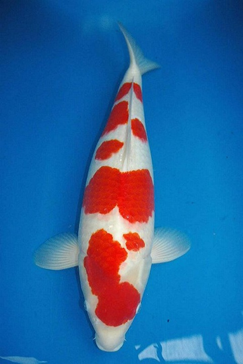 Best koi high grade koi from oishi koi farm for sale for High quality koi