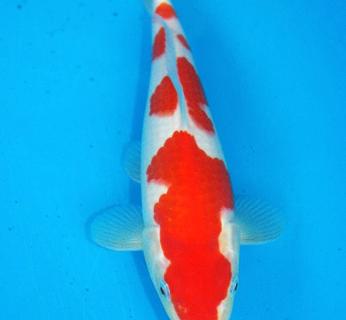 Best koi hq auction koi from oishi koi farm for Koi breeders near me