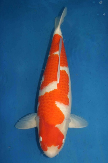 Best koi hq oishi ake sansai kohaku with breeder 39 s for Koi breeders near me