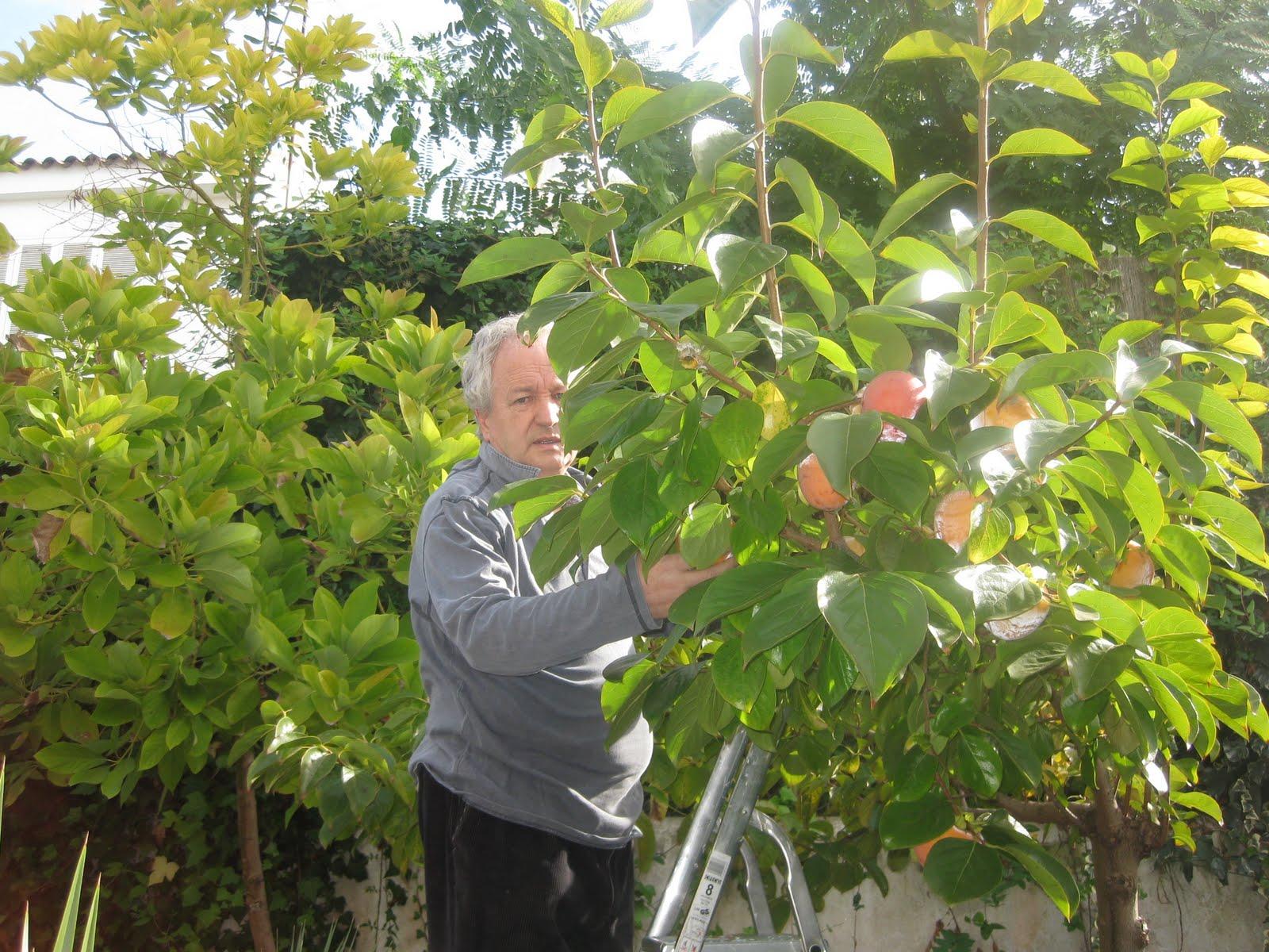 L 39 albero di cachi marghe marga for Albero di cachi