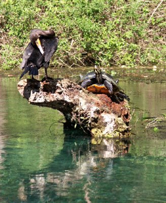 turtle and anhinga