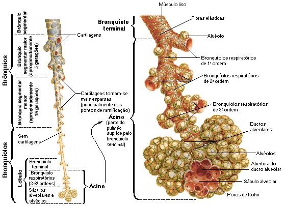 Sistema Respiratório \\õ/: Brônquios e Bronquíolos