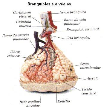 Sistema Respiratório \\õ/: Alvéolos Pulmonares