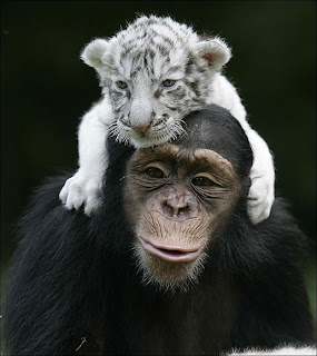 Baby Tiger and a Chimpanzee