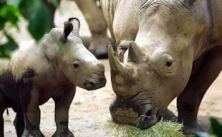baby Rhinocerous