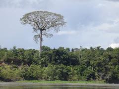 CEIBA, RIO AMAZONAS