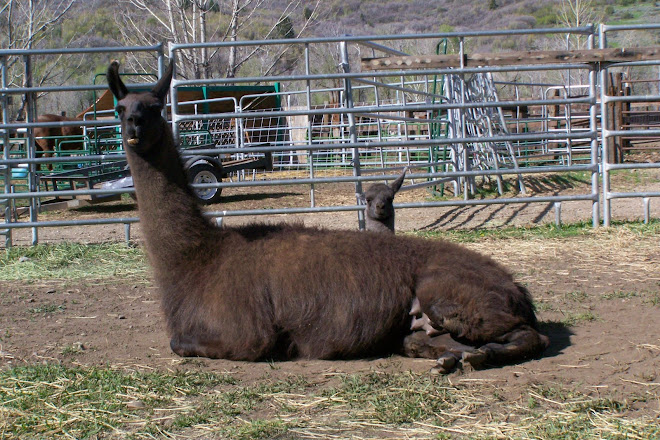 Momma Llama