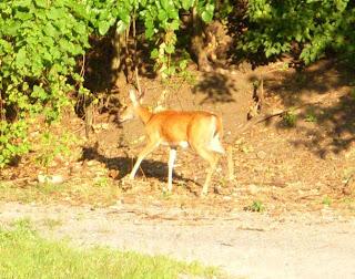 Deer in Cleveland Flats Side