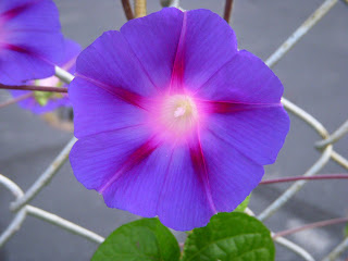 Morning Glory in Tremont