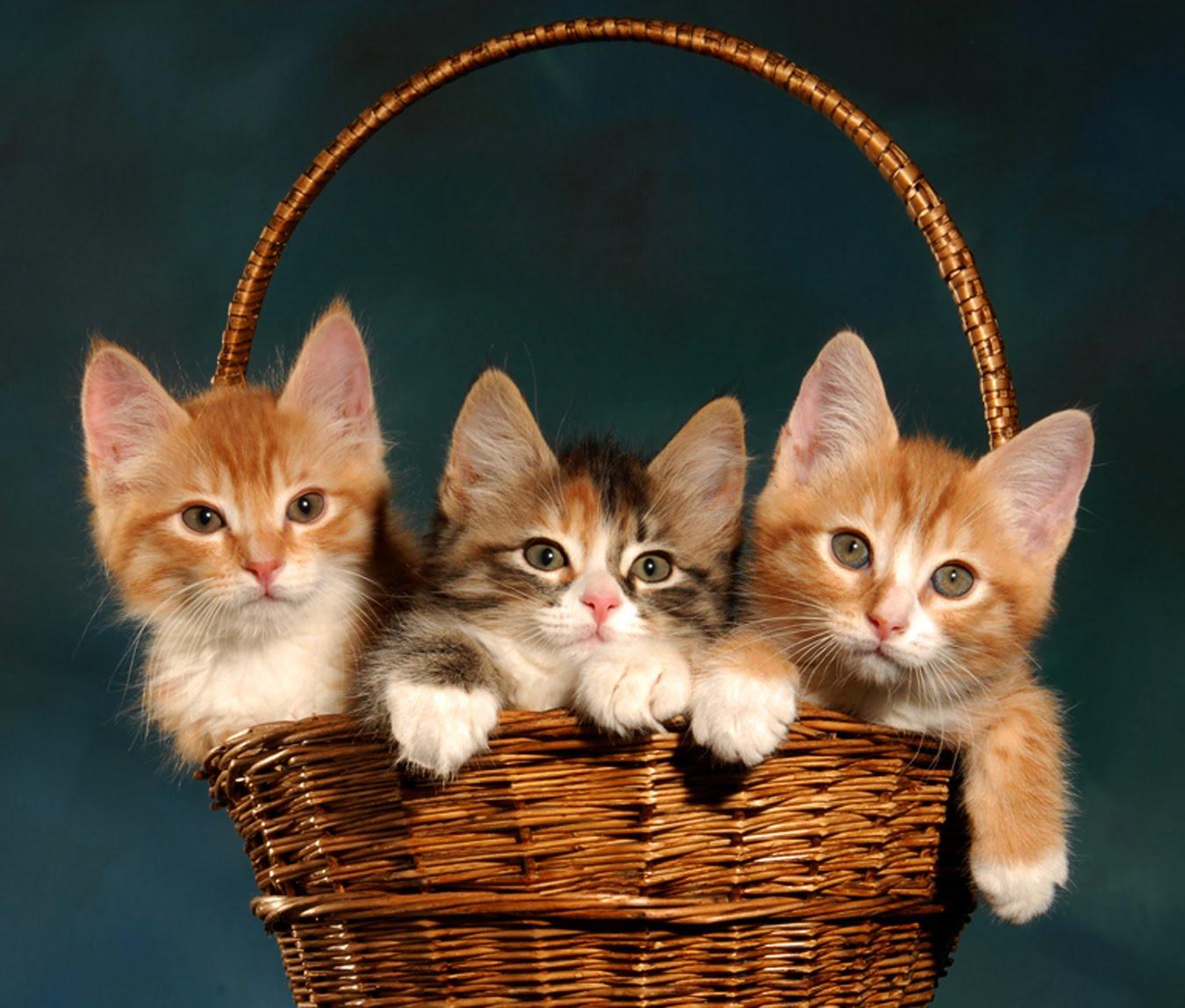 http://3.bp.blogspot.com/_aNyX2j6uY5Q/TKrHb4iDqAI/AAAAAAAAAxg/BuHZ9oVjo0c/s1600/KittiesInABasketbg.jpg