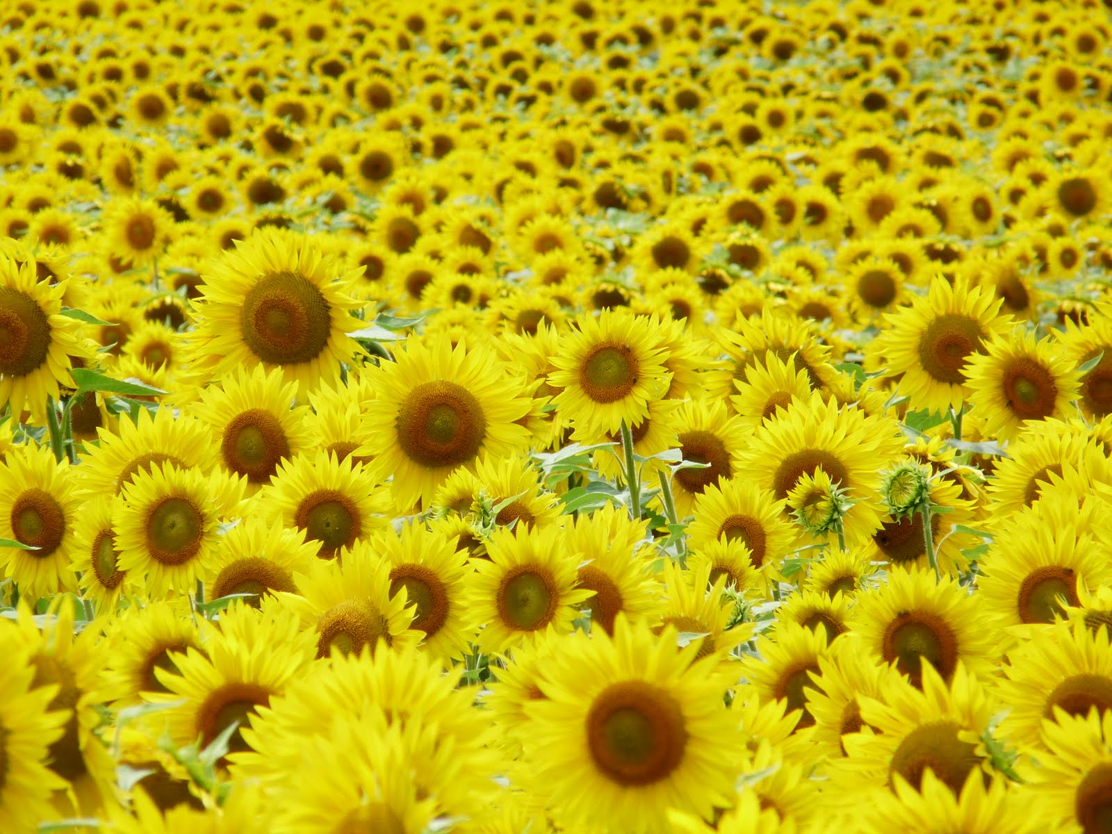 [sunflowers1]