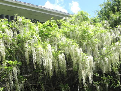 the white wisteria in full flower