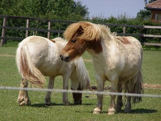 Two diminutive ponies