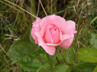A very pink rose