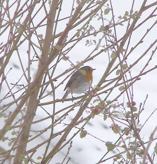 A robin in my garden