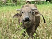 Sinanggalutu buffalo