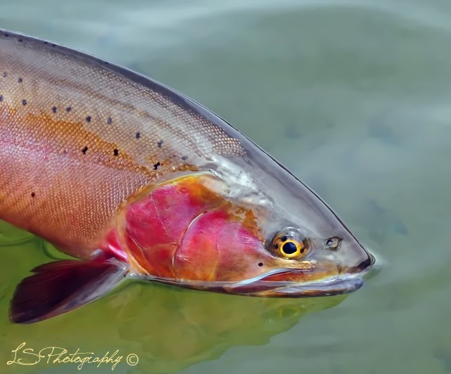 Henrys Lake Cutthroat by Lynn Scott