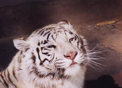 White tiger close up face - photo#6