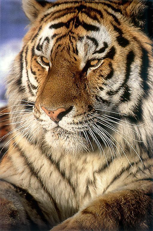 Lysander Scamander Lovegood  -en obras- SiberianTiger_Sitting_Closeup