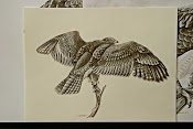 Red Tailed Hawk working Sketch