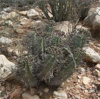 Euphorbia pillansii