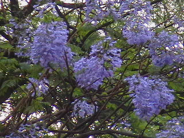 Indian travel flowering trees jacaranda the flowers are purple colored and tubular these flowers hang from the tree for a long time before falling off mightylinksfo