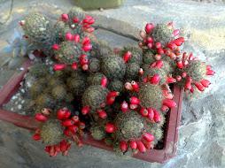 kaktus berbunga merah