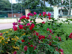 red bouganvilla