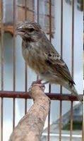 ... blackthroat burung yang berasal dari benua afrika d