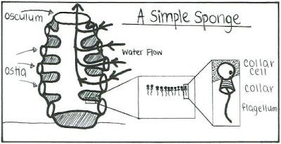 Diagram Of Phylum Porifera Sponges, Diagram, Free Engine ...