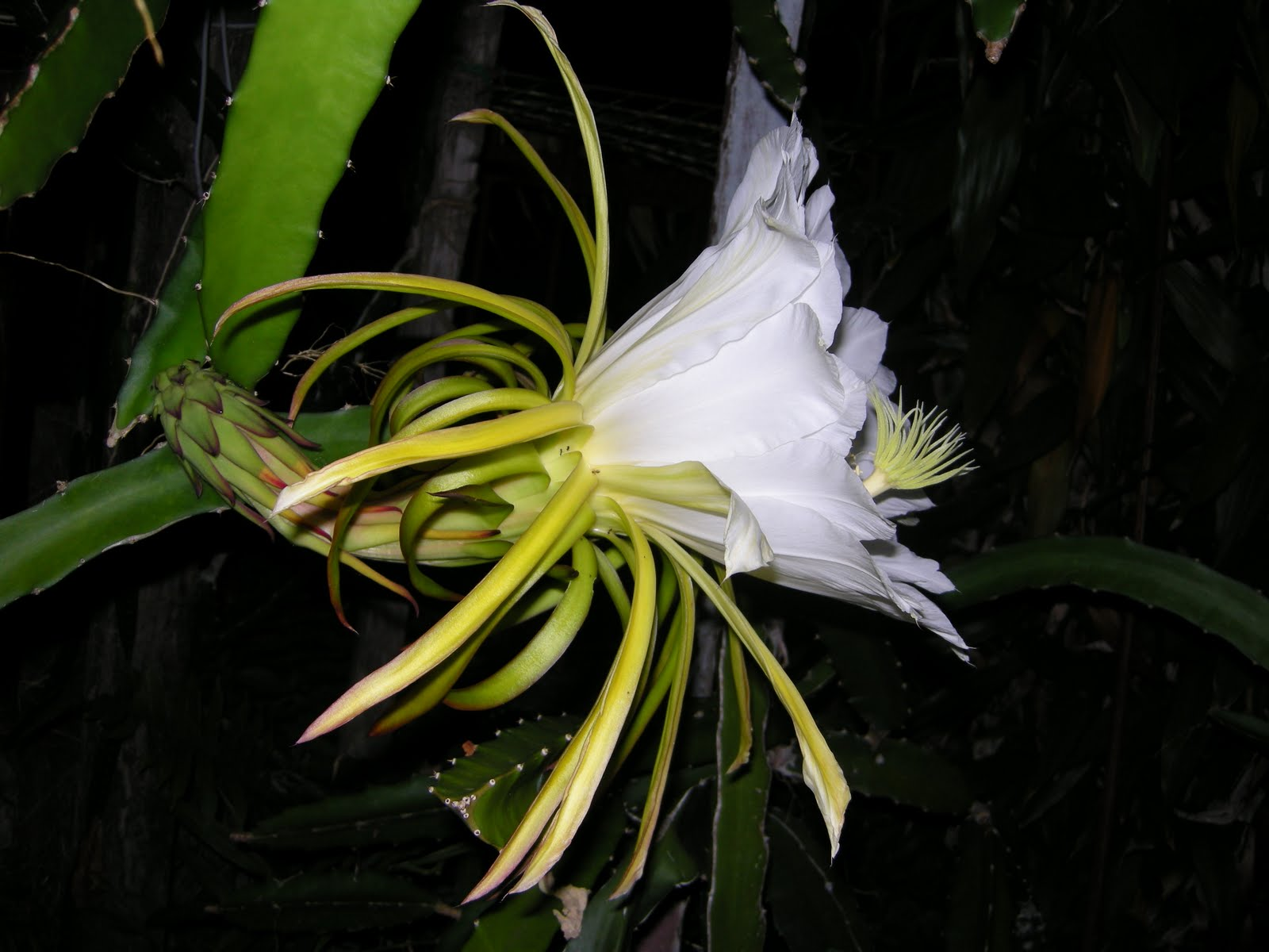 Imperfect Girl first time seeing a dragon fruit flower which only blooms at