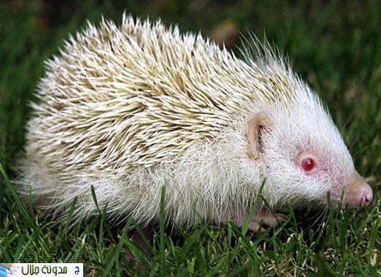 حيوانات ناصعه البياض Albino+hedgehog