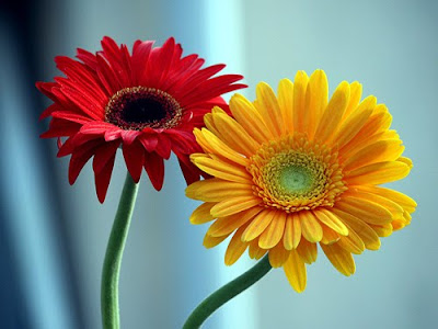 photologs beautiful blooms  gerbera daisies, Natural flower