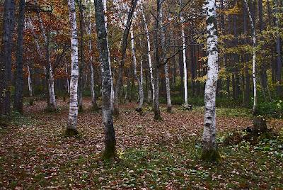 尾瀬檜枝岐村七入オートキャンプ場付近の白樺林