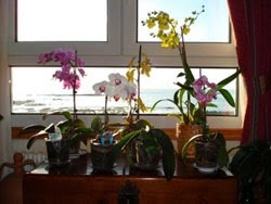 Orquideas variedades cultivar orquideas en casa - Como cuidar una orquidea en casa ...
