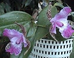 Orquideas variedades cuando cambiar la maceta a las - Maceta para orquideas ...