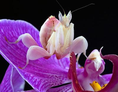 Mantis orquidea