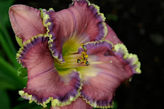 My New Daylily Blog