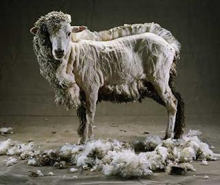 http://3.bp.blogspot.com/_ae1IhJbNowc/TPdytYL8VFI/AAAAAAAAGE4/S1AxG5EJeP4/s320/mouton-tondu.jpg
