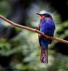Blue headed bee- eater