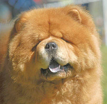 Chow Chow ~ Top Dogs and Puppies