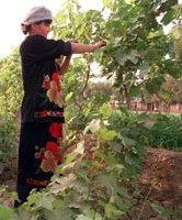 Turfan orchard