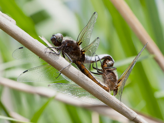 Scarce Chasers Mating